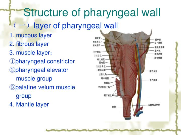 Structure of pharyngeal wall