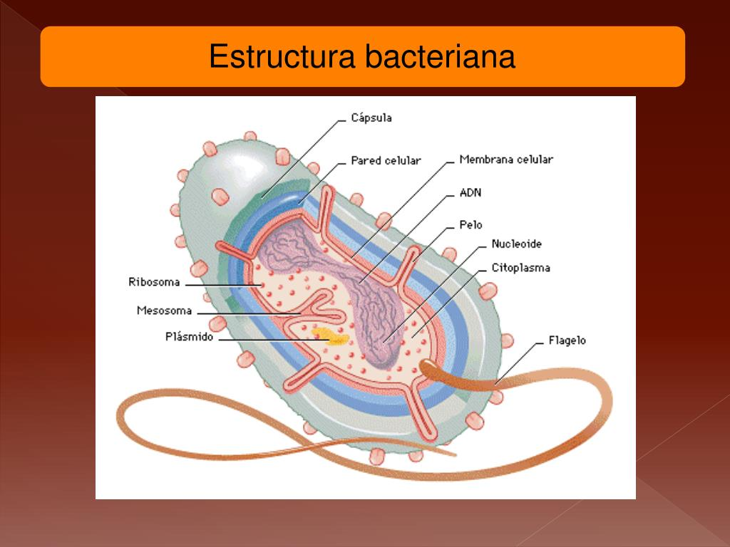 Ppt Bacterias Powerpoint Presentation Free Download Id
