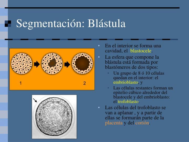Segmentación: Blástula