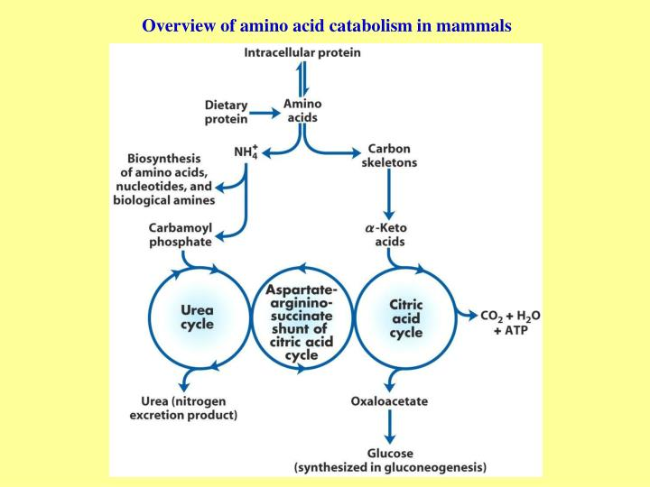 The Amino Acid Chart describes the biological properties and solubility of the 20 standard amino acids