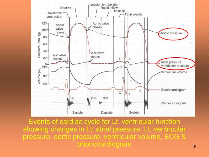 Events of cardiac cycle for Lt. ventricular function showing changes in Lt. atrial pressure, Lt. ventricular pressure, aortic pressure, ventricular volume, ECG & phonocardiogram