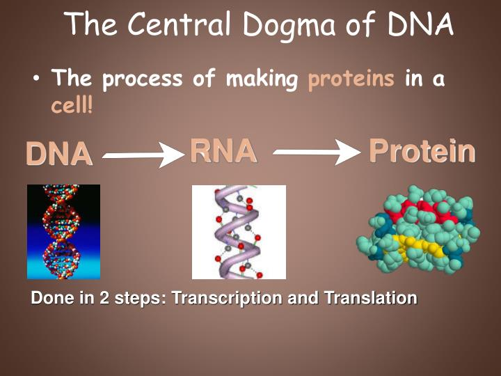 the central dogma of dna n.