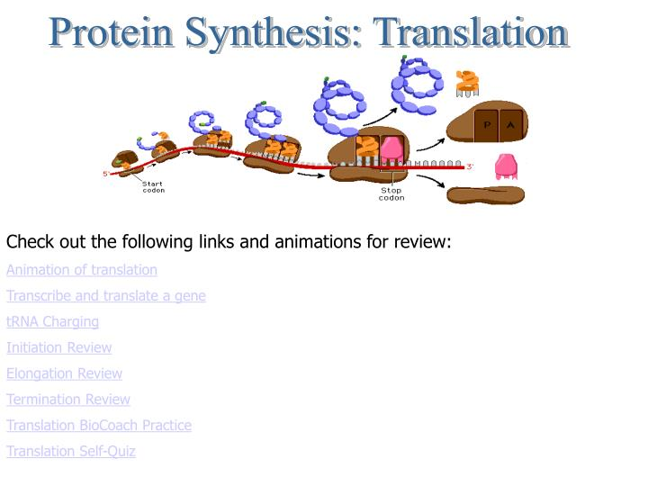 protein synthesis quiz Chapter 10 learn with flashcards, games, and more — for free.