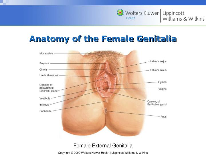 Ppt Chapter 14 Female Genitalia Powerpoint Presentation Id6243931