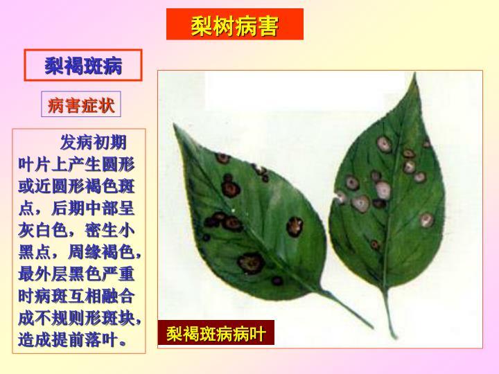 梨褐斑病病叶