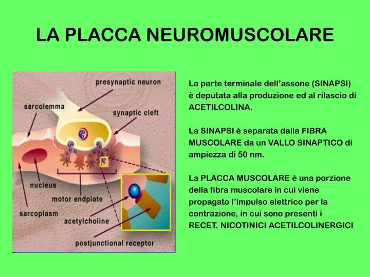 La placca neuromuscolare