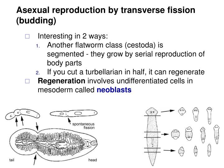 Asexual reproduction by transverse fission (budding)