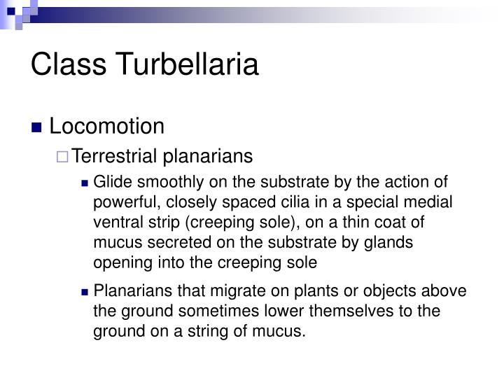 Class Turbellaria