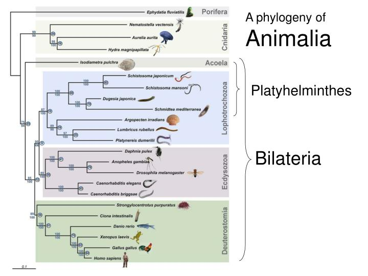 A phylogeny of