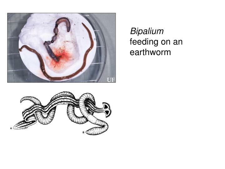 Bipalium