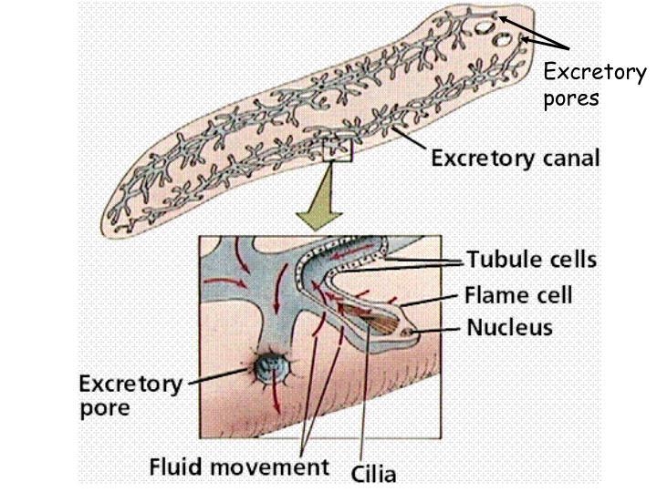 Excretory pores