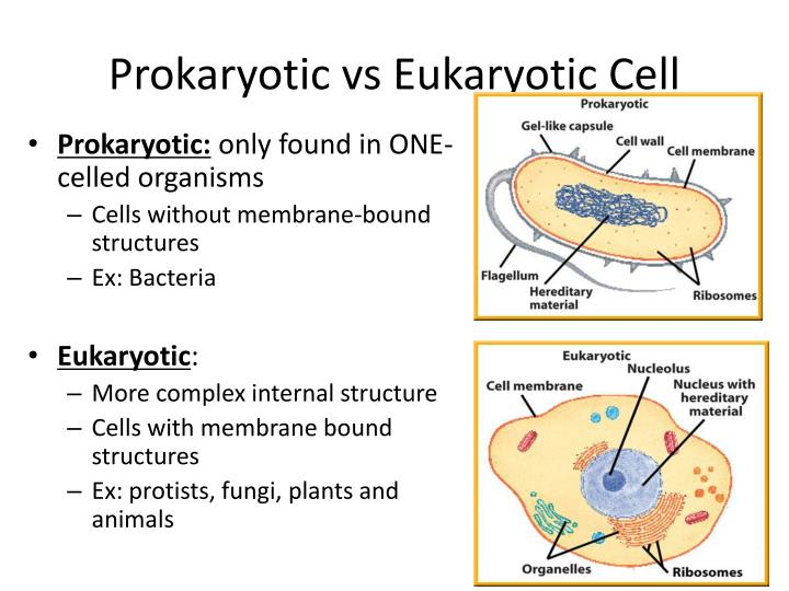 the evolutionary relationship between prokaryotic and eukaryotic cells The complex eukaryotic cell ushered in a whole new era for life on earth, because these cells evolved into multicellular organisms but how did the eukaryotic cell itself evolve how did a humble bacterium make this evolutionary leap from a simple prokaryotic cell to a more complex eukaryotic cell.