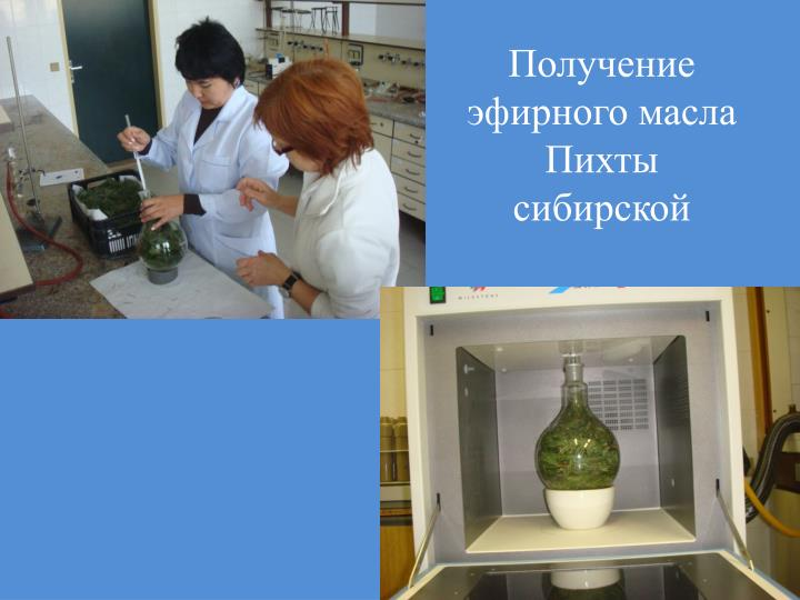 Получение эфирного масла Пихты сибирской