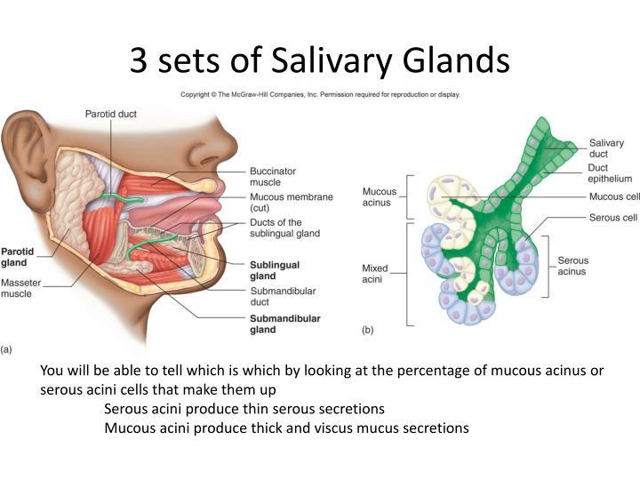3 sets of Salivary Glands
