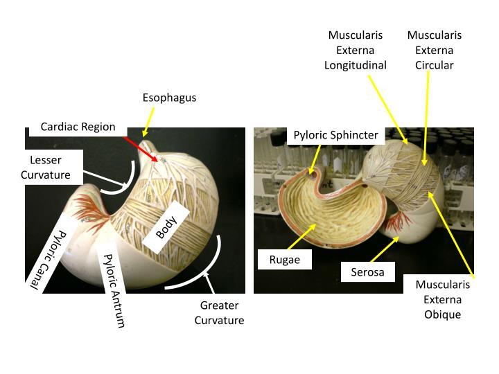 Muscularis Externa Longitudinal