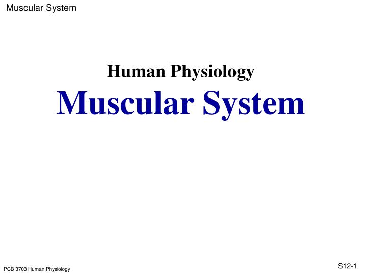 Human physiology muscular system