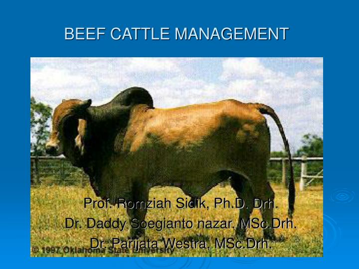 beef cattle management n.