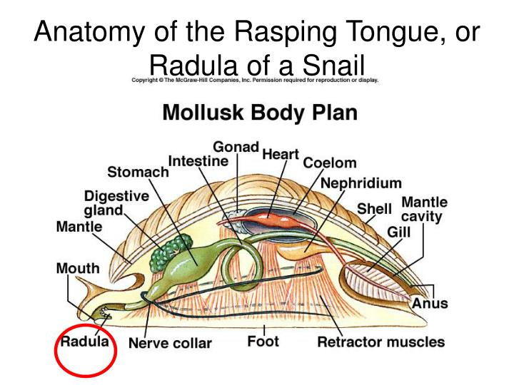 Enchanting Anatomy Of Snail Mold - Anatomy And Physiology Biology ...