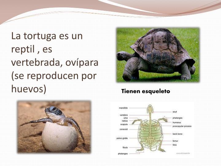 La tortuga es un reptil es vertebrada ov para se reproducen por huevos