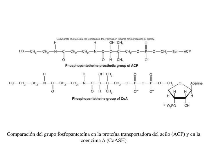 Comparación del grupo fosfopanteteína en la proteína transportadora del acilo (ACP) y en la coenzima A (CoASH)