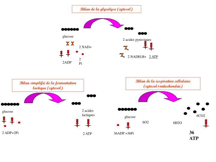 Bilan de la glycolyse (cytosol)
