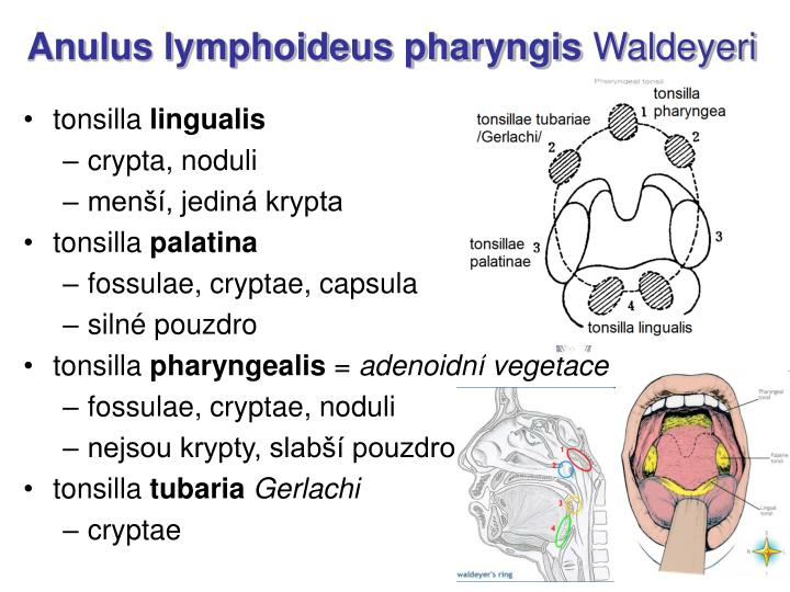 Anulus lymphoideus pharyngis