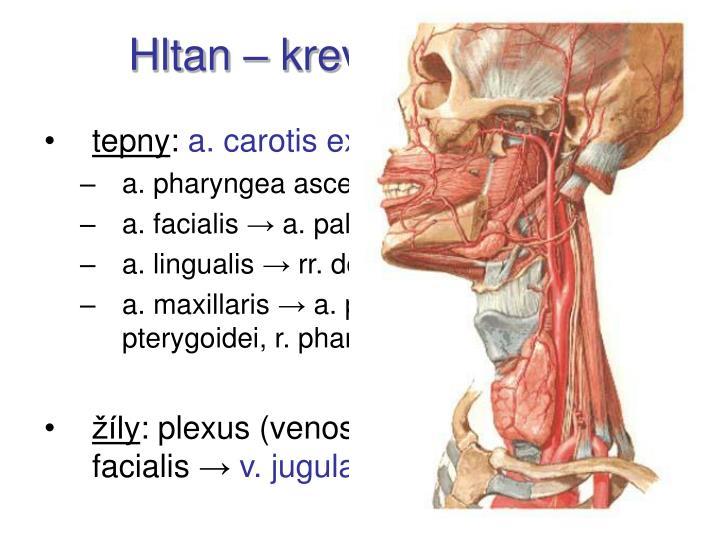 Hltan – krevní zásobení