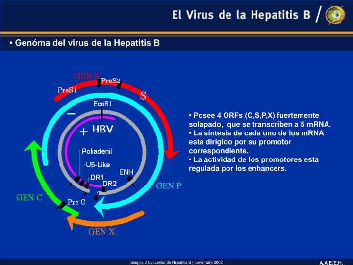 • Genóma del virus de la Hepatitis B