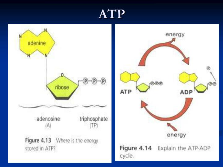 adenosine triphosphate and aerobic respiration Aerobic respiration begins with a process called glycolysis in glycolysis, a carbohydrate (such as glucose) gets broken down and, after losing some anaerobic respiration begins the same way as aerobic respiration and fermentation the first step is still glycolysis and it still creates 2 atp from.