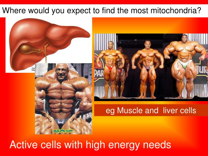 Where would you expect to find the most mitochondria?