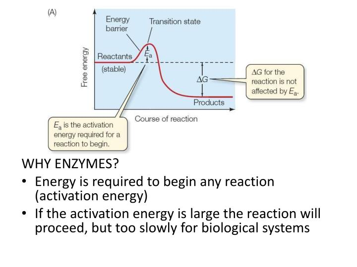 WHY ENZYMES?