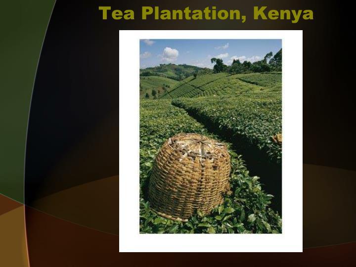 Tea Plantation, Kenya