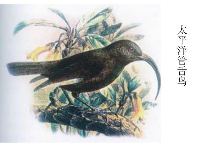 太平洋管舌鸟