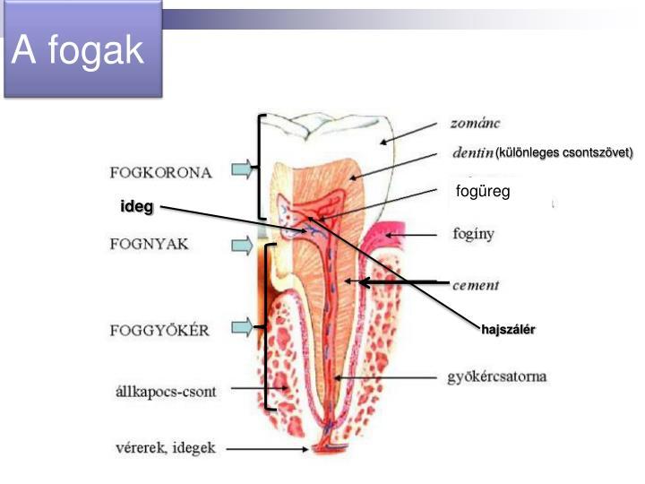 A fogak