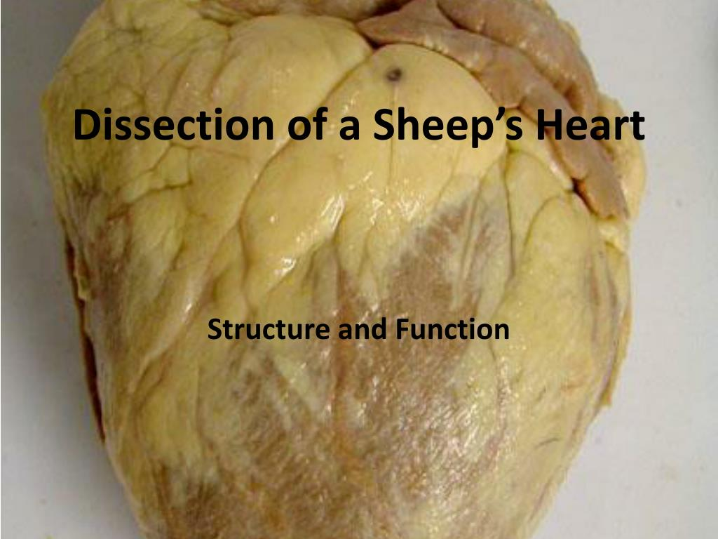 sheep heart structure