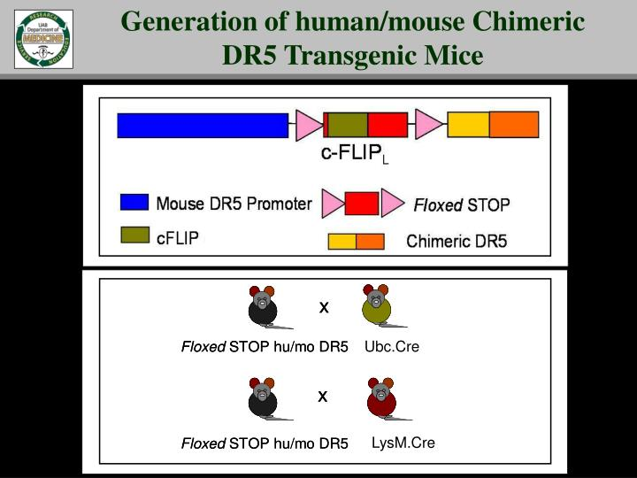 Generation of human/mouse Chimeric DR5 Transgenic Mice