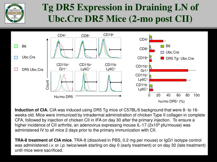 Tg DR5 Expression in Draining LN of Ubc.Cre DR5 Mice (2-mo post CII)