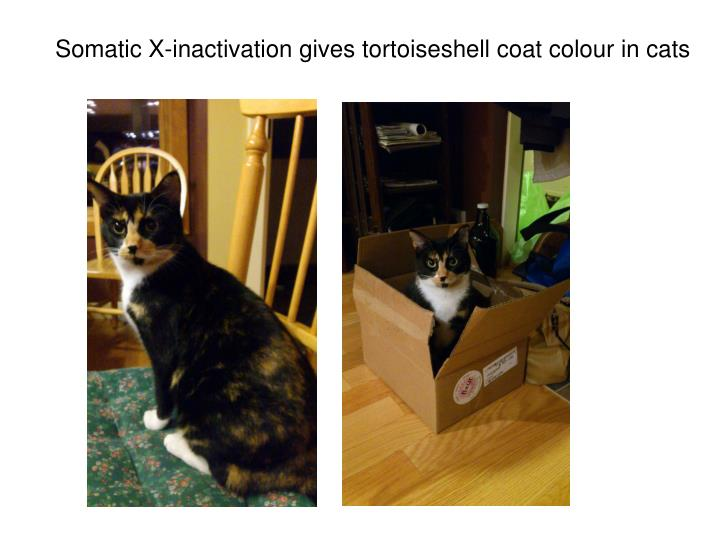 Somatic X-inactivation gives tortoiseshell coat colour in cats