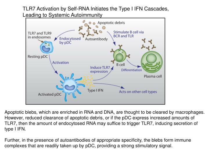 TLR7 Activation by Self-RNA Initiates the Type I IFN Cascades,