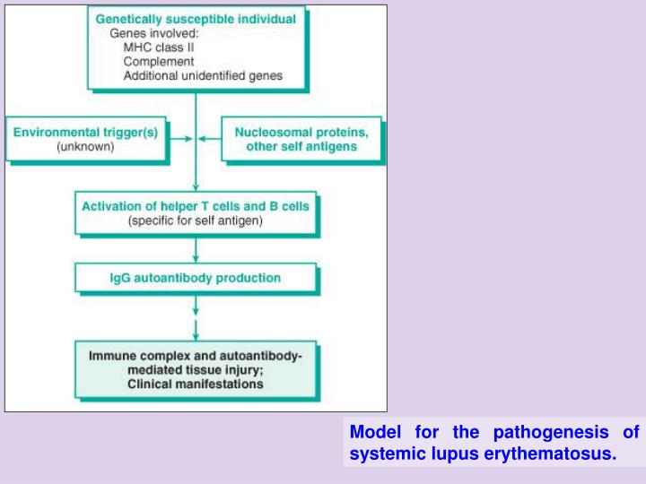 Model for the pathogenesis of systemic lupus erythematosus.