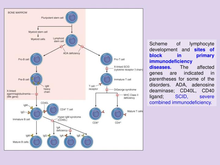Scheme of lymphocyte development and