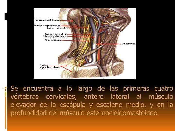 PPT - Plexo Cervical PowerPoint Presentation - ID:6303886