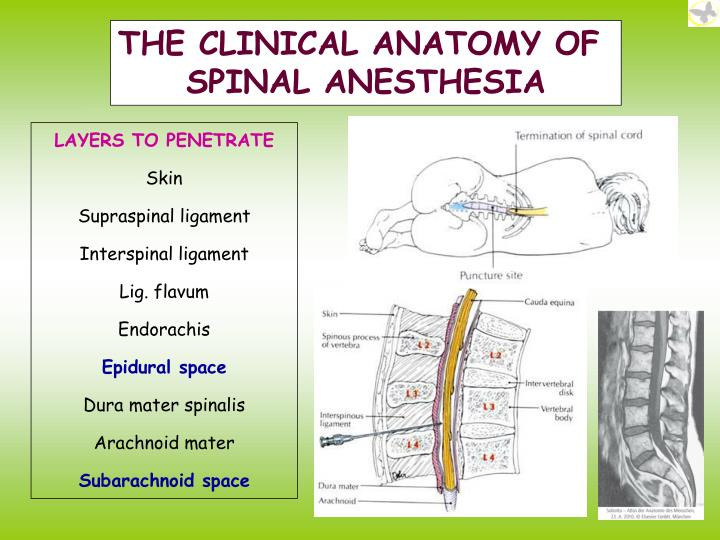 Ppt Gross Anatomy Of The Spinal Cord Powerpoint Presentation Id