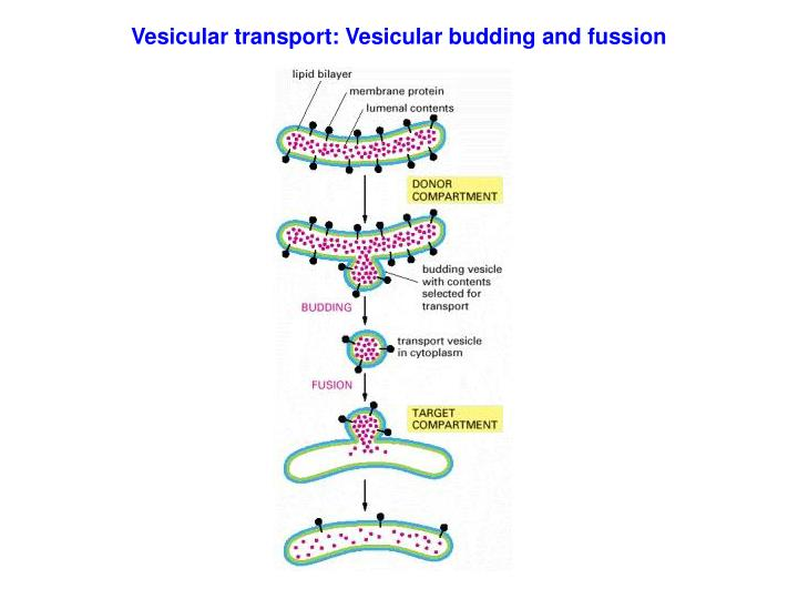 Vesicular transport: Vesicular budding and fussion
