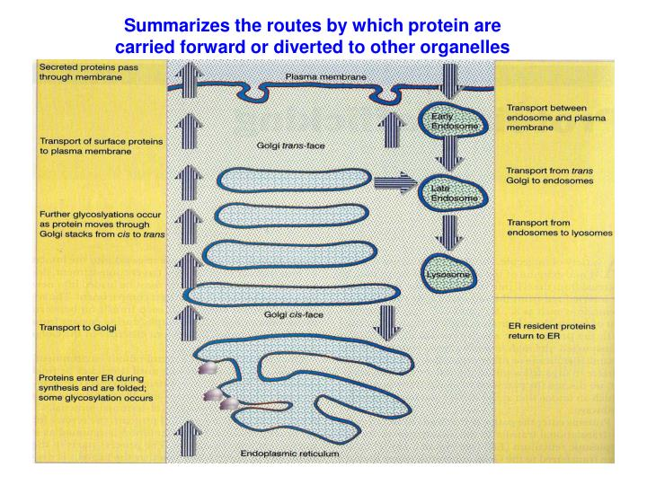 Summarizes the routes by which protein are carried forward or diverted to other organelles