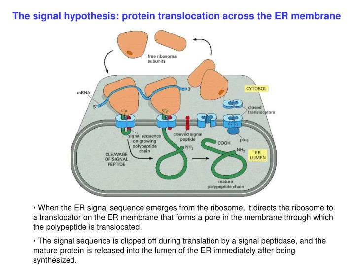 The signal hypothesis: protein translocation across the ER membrane