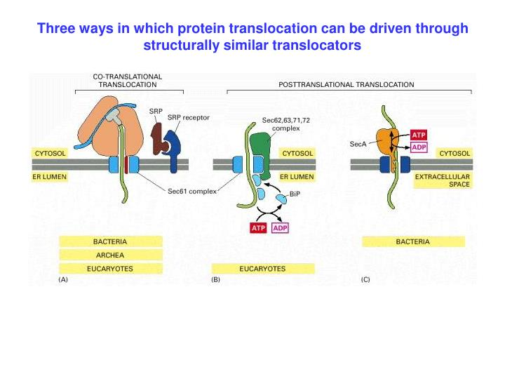 Three ways in which protein translocation can be driven through structurally similar translocators