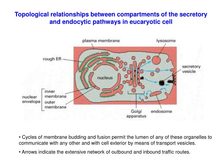 Topological relationships between compartments of the secretory and endocytic pathways in eucaryotic cell
