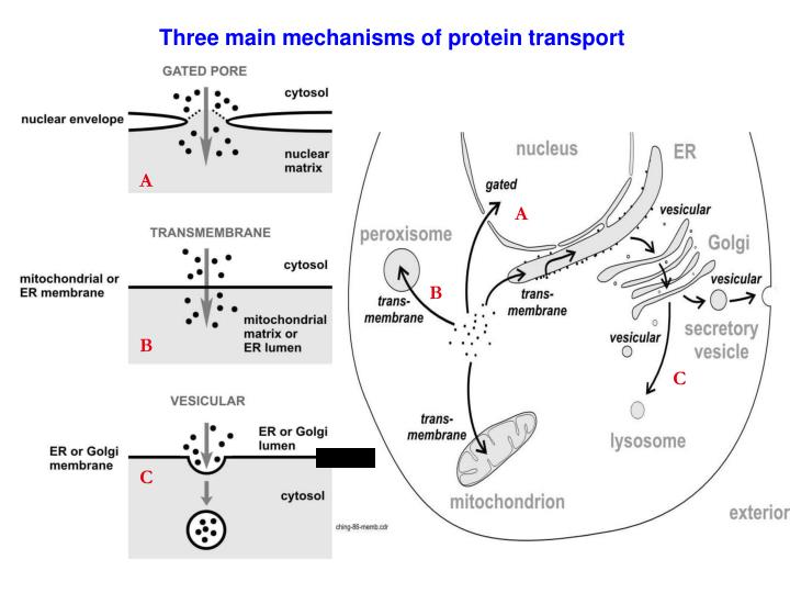 Three main mechanisms of protein transport