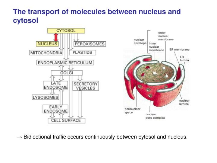 The transport of molecules between nucleus and cytosol